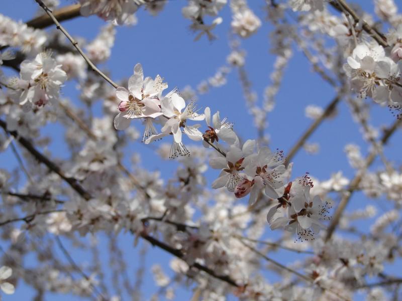 yyt-sakura